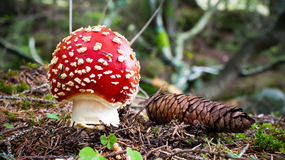 Wulstling muscaria Lizenzfreie Stockfotos