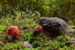 Wulstling muscaria in der natürlichen Umwelt Lizenzfreies Stockfoto