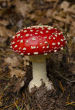 Wulstling muscaria Pilz Stockfotos