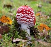 Wulstling muscaria Pilz unter dem Moos Stockbild