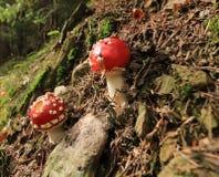 Wulstling muscaria, rot-ausgefleischter Pilz lizenzfreie stockfotos