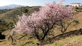 Wunderbar rosa blühender Mandelbaum im Frühjahr Lizenzfreies Stockbild