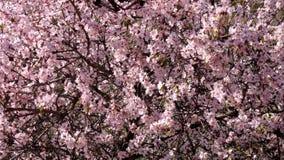 Wunderbar rosa blühender Mandelbaum im Frühjahr Lizenzfreies Stockfoto
