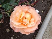 Wunderbar stieg in rosa gelb-orangee Farben Lizenzfreies Stockfoto