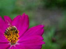 Wunderbare Biene Stockbild