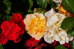 Wunderbare gelbe und weiße Rosen Lizenzfreie Stockfotos