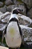 Wunderbare Nahaufnahme eines netten Pinguins Stockbild