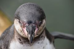 Wunderbare Nahaufnahme eines netten Pinguins Lizenzfreie Stockbilder