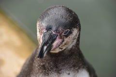 Wunderbare Nahaufnahme eines netten Pinguins Lizenzfreie Stockfotografie
