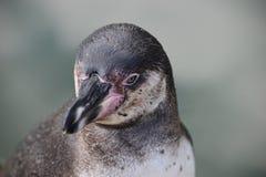 Wunderbare Nahaufnahme eines netten Pinguins Stockfotos