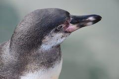 Wunderbare Nahaufnahme eines netten Pinguins Stockbilder