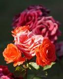 Wunderbare rote Rosen Stockbild
