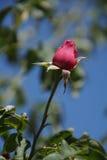 Wunderbare rote Rosen Stockfotografie
