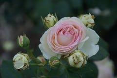 Wunderbare rote Rosen Stockbilder