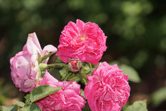 Wunderbare rote Rosen Stockfotos