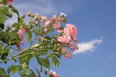 Wunderbare rote Rosen Stockfoto