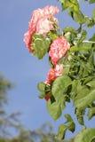 Wunderbare rote Rosen Lizenzfreie Stockfotos