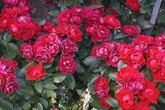 Wunderbare rote Rosen Lizenzfreies Stockfoto