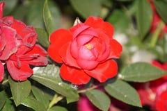 Wunderbare rote Rosen Lizenzfreies Stockbild