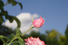 Wunderbare rote Rosen Lizenzfreie Stockfotografie