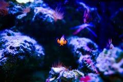 Wunderbare und sch?ne Unterwasserwelt mit Korallen und tropischen Fischen stockbild