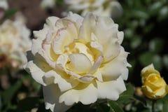 Wunderbare weiße Rosen Stockfoto