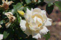 Wunderbare weiße Rosen Lizenzfreie Stockfotos