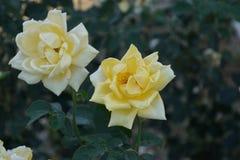 Wunderbare weiße und gelbe Rosen Lizenzfreie Stockfotos