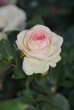 Wunderbare weiße und rote Rosen Lizenzfreies Stockbild
