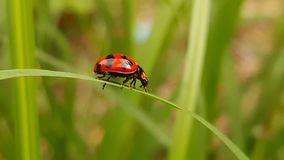 Wunderbarer Marienkäfer von Thailand stockfotografie