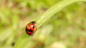 Wunderbarer Marienkäfer von Thailand stockbild