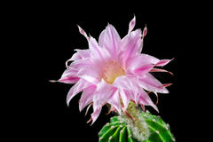 Wunderbares Echinopsis lizenzfreie stockbilder