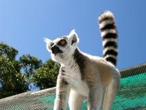 Wunderbares Foto des wilden Makis auf Zeltdachspitze Lizenzfreie Stockfotos