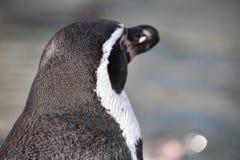 Wunderbares Porträt eines netten Pinguins von hinten Lizenzfreies Stockfoto