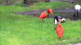 wunderbares rotes Vogel Eudocimus-ruber stock video footage