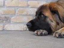 Wundernder Hund stockbilder