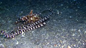 Wunderpus octopus in Lembeh strait Indonesia stock video