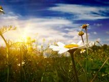 Wundervolle Gänseblümchen gegen Hintergrund des blauen Himmels. stockbild