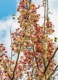 Wunsch des Baums, rosa Dusche, Kassie bakeriana craib Blume lizenzfreies stockfoto
