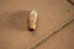 Wurm dynastinae Lizenzfreies Stockfoto