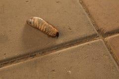 Wurm dynastinae Stockfotos