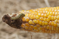 Wurm im Mais stockfoto