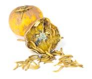 Wurm kommt aus faule Orange heraus Stockfotos