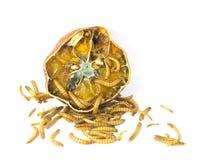 Wurm kommt aus faule Orange heraus Lizenzfreie Stockfotos