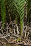 Wurmb. Is growth near river and it is palm . it has fruit for desert Royalty Free Stock Photo