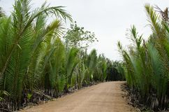 Wurmb. Is growth near river and it is palm . it has fruit for desert Stock Images