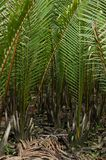 Wurmb. Is growth near river and it is palm . it has fruit for desert Stock Photography