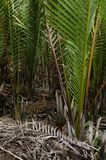 Wurmb. Is growth near river and it is palm . it has fruit for desert Royalty Free Stock Photos