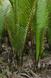 Wurmb. Is growth near river and it is palm . it has fruit for desert Royalty Free Stock Image