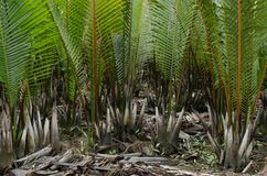 Wurmb. Is growth near river and it is palm . it has fruit for desert Royalty Free Stock Photography
